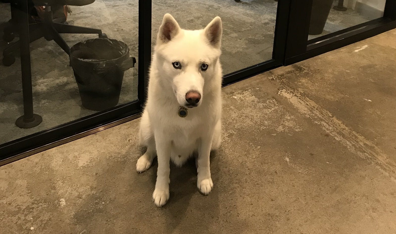 Cute White Dog in a Dog Friendly Office Space